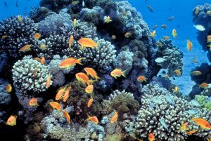 A photo showing many orange and pale blue colored fish, swimming over a coral reef in the blue waters of the Gulf of Eilat.