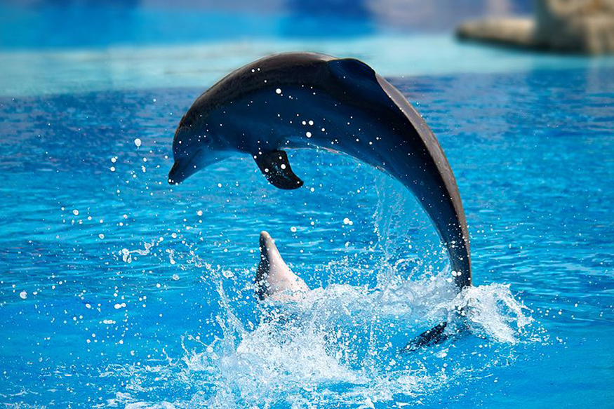Two dolphins are shown in a pool at Lisbon Zoo. One is in the water, and the other is in the air diving back into water