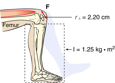 the figure shows a human leg, from the thighs to the feet which is bent