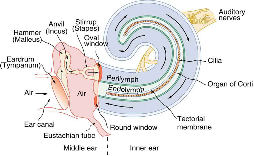 Schematic diagram of the middle and inner ear with various parts labeled.