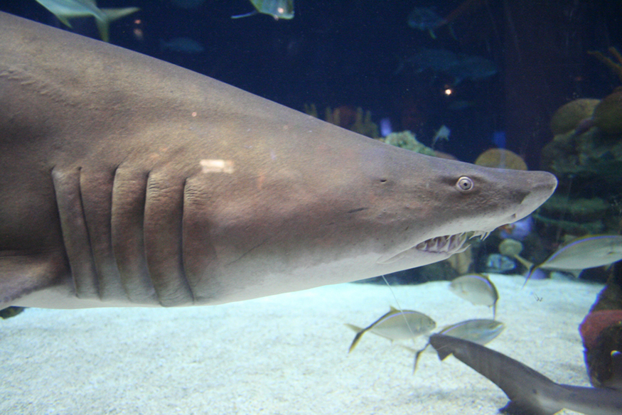 A photograph of a large gray tiger shark that swims along the bottom of a saltwater tank full of smaller fish at the Minnesota Zoo.