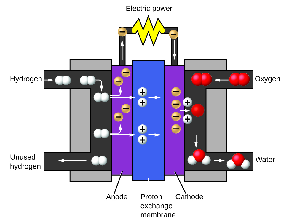 The fuel cell consists of a proton exchange membrane sandwiched between an anode and a cathode. Hydrogen gas enters the battery near the anode. Oxygen gas enters the battery near the cathode. The entering hydrogen gas is broken up into single white spheres that each have a positive charge. These are protons. The protons repel negatively-charged electrons within the anode. These electrons travel through a circuit, providing electricity to anything attached to the battery. The protons continue through the proton exchange membrane and through the cathode to reach the oxygen gas molecules at the opposite end of the battery. There, the oxygen atoms split up into single red spheres. Each oxygen atom takes on two of the incoming protons to form a water molecule.