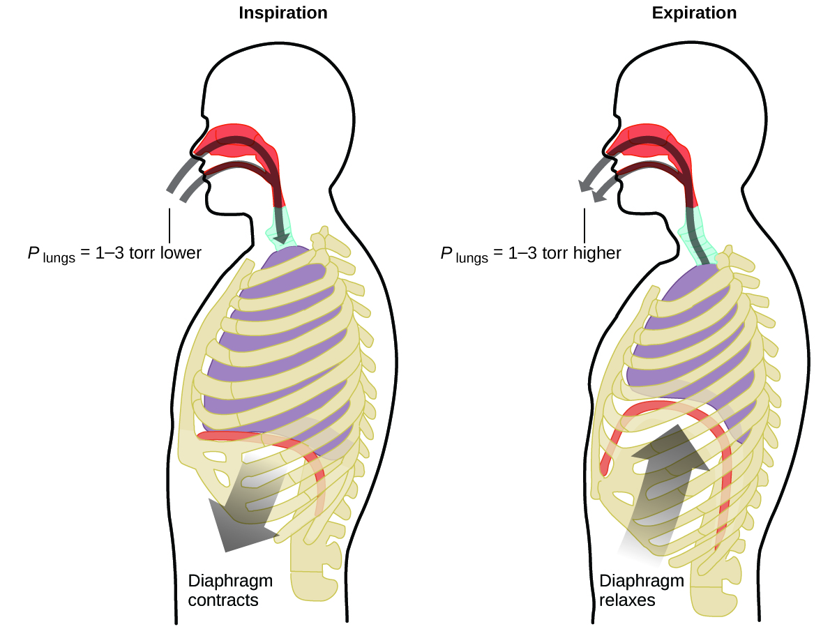 "This figure contains two diagrams of a cross section of the human head and torso. The first diagram on the left is labeled ""Inspiration."" It shows curved arrows in gray proceeding through the nasal passages and mouth to the lungs. An arrow points downward from the diaphragm, which is relatively flat, just beneath the lungs. This arrow is labeled ""Diaphragm contracts."" At the entrance to the mouth and nasal passages, a label of P subscript lungs equals 1 dash 3 torr lower"" is provided. The second, similar diagram, which is labeled ""Expiration,"" reverses the direction of both arrows. Arrows extend from the lungs out through the nasal passages and mouth. Similarly, an arrow points up to the diaphragm, showing a curved diaphragm and lungs reduced in size from the previous image. This arrow is labeled ""Diaphragm relaxes."" At the entrance to the mouth and nasal passages, a label of P subscript lungs equals 1 dash 3 torr higher"" is provided."