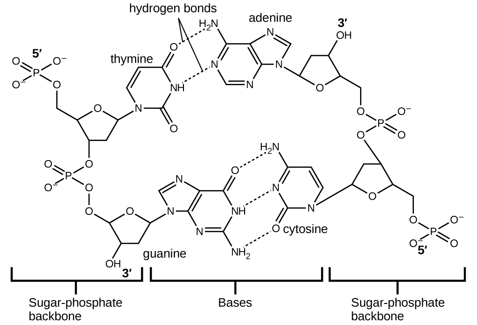 """A large Lewis structure is shown. The top left corner of this structure, labeled """"5, prime,"""" shows a phosphorus atom single bonded to three oxygen atoms, one of which has a superscripted negative charge, and double bonded to a fourth oxygen atom. One of the single bonded oxygen atoms is single bonded to the left corner of a five-membered ring with an oxygen atom at its top point and which is single bonded to an oxygen atom on the bottom left. This oxygen atom is single bonded to a phosphorus atom that is single bonded to two other hydrogen atoms and double bonded to a fourth oxygen atom. The lower left of these oxygen atoms is single bonded to another oxygen atom that is single bonded to a five-membered ring with an oxygen in the upper bonding site. The bottom left of this ring has a hydroxyl group attached to it while the upper right carbon is single bonded to a nitrogen atom that is part of a five-membered ring bonded to a six-membered ring. Both of these rings have points of unsaturation and nitrogen atoms bonded into their structures. On the right side of the six-membered ring are two single bonded amine groups and a double bonded oxygen. Three separate dotted lines extend from these sites to corresponding sites on a second six-membered ring. This ring has points of unsaturation and a nitrogen atom in the bottom right bonding position that is single bonded to a five-membered ring on the right side of the image. This ring is single bonded to a carbon that is single bonded to an oxygen that is single bonded to a phosphorus. The phosphorus is single bonded to two other oxygen atoms and double bonded to a fourth oxygen atom. This group is labeled """"5, prime."""" The five-membered ring is also bonded on the top side to an oxygen that is bonded to a phosphorus single bonded to two other oxygen atoms and double bonded to a fourth oxygen atom. The upper left oxygen of this group is single bonded to a carbon that is single bonded to a five-membered ring with an oxygen in the"""