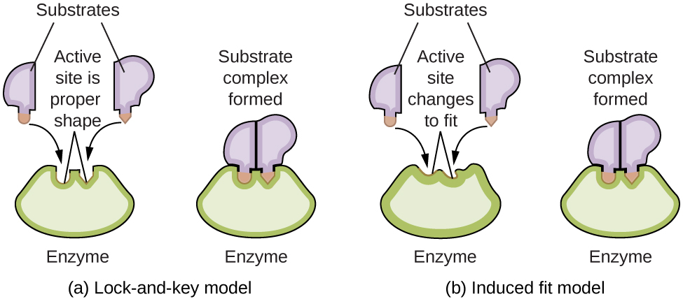"A diagram is shown of two possible interactions of an enzyme and a substrate. In a, which is labeled ""Lock-and-key,"" two diagrams are shown. The first shows a green wedge-like shape with two small depressions in the upper surface of similar size, but the depression on the left has a curved shape, and the depression on the right has a pointed shape. This green shape is labeled ""Enzyme."" Just above this shape are two smaller, irregular, lavender shapes each with a projection from its lower surface. The lavender shape on the left has a curved projection which matches the shape of the depression on the left in the green shape below. This projection is shaded orange and has a curved arrow extending from in to the matching depression in the green shape below. Similarly, the lavender shape on the right has a projection with a pointed tip which matches the shape of the depression on the right in the green shape below. This projection is shaded orange and has a curved arrow extending from in to the matching depression in the green shape below. Two line segments extend from the depressions in the green shape to form an inverted V shape above the depressions. Above this and between the lavender shapes is the label, ""Active site is proper shape."" The label ""Substrates"" is at the very top of the diagram with line segments extending to the two lavender shapes. To the right of this diagram is a second diagram showing the lavender shapes positioned next to each other, fit snugly into the depressions in the green shape, which is labeled ""Enzyme."" Above this diagram is the label, ""Substrate complex formed."" In b, which is labeled ""Induced fit,"" two diagrams are shown. The first shows a green wedge-like shape with two small depressions in the upper surface of similar size, but irregular shape. This green shape is labeled ""Enzyme."" Just above this shape are two smaller irregular lavender shapes each with a projection from its lower surface. The lavender shape on the left has a curved projection. This projection is shaded orange and has a curved arrow extending from it to the irregular depression just below it in the green shape below. Similarly, the lavender shape on the right has a projection with a pointed tip. This projection is shaded orange and has a curved arrow extending from it to the irregular depression just below it in the green shape below. Two line segments extend from the depressions in the green shape to form an inverted V shape above the depressions. Above this and between the lavender shapes is the label, ""Active site changes to fit."" The label, ""Substrates"" is at the very top of the diagram with line segments extending to the two lavender shapes. To the right of this diagram is a second diagram showing the purple shapes positioned next to each other, fit snugly into the depressions in the green shape, which is labeled ""Enzyme."" Above this diagram is the label ""Substrate complex formed."" The projections from the lavender shapes match the depression shapes in the green shape, resulting in a proper fit."