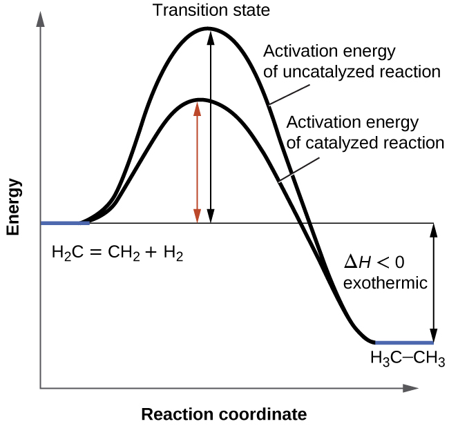 "A graph is shown with the label, ""Reaction coordinate,"" on the x-axis and the label,""Energy,"" on the y-axis. Approximately half-way up the y-axis, a short portion of a black concave down curve which has a horizontal line extended from it across the graph. The left end of this line is labeled ""H subscript 2 C equals C H subscript 2 plus H subscript 2."" The black concave down curve extends upward to reach a maximum near the height of the y-axis. The peak of this curve is labeled, ""Transition state."" A double sided arrow extends from the horizontal line to the peak of the curve. This arrow is labeled, ""Activation energy of Uncatalyzed reation."" From the peak, the curve continues downward to a second horizontally flattened region well below the origin of the curve near the x-axis. This flattened region is shaded in blue and is labeled ""H subscript 3 C dash C H subscript 3."" A double sided arrow is drawn from the lowers part of this curve at the far right of the graph to the line extending across the graph above it. This arrow is labeled, ""capital delta H less than 0 : exothermic."" A second curve is drawn with the same flattened regions at the start and end of the curve. The height of this curve is about two-thirds the height of the first curve. A double sided arrow is drawn from the horizontal line that originates at the left side of the graph to the peak of this second curve. This arrow is labeled, ""Activation energy of catalyzed reaction."""