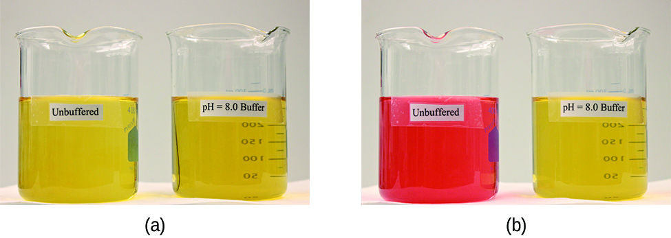 "Two images are shown. Image a on the left shows two beakers that each contain yellow solutions. The beaker on the left is labeled ""Unbuffered"" and the beaker on the right is labeled ""p H equals 8.0 buffer."" Image b similarly shows 2 beakers. The beaker on the left contains a bright orange solution and is labeled ""Unbuffered."" The beaker on the right is labeled ""p H equals 8.0 buffer."""