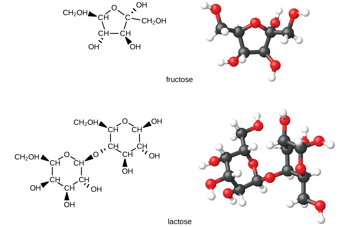 This figure shows structural and ball-and-stick models for the common sugars fructose and lactose. Carbon atoms are illustrated in black, oxygen atoms are red, and hydrogen atoms are white in the ball-and-stick models.