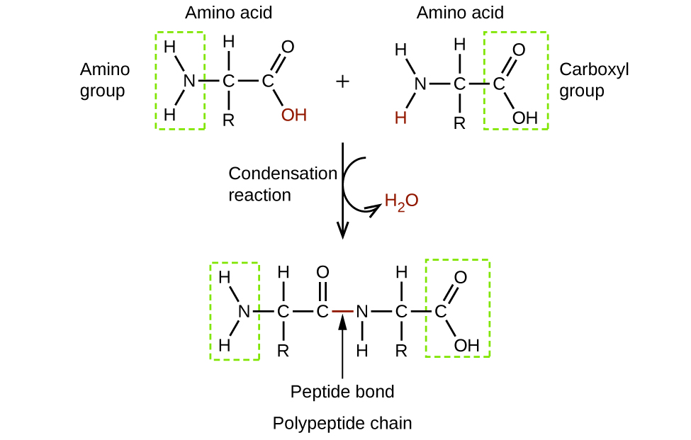 This figure shows two amino acid molecules. These molecules have two singly bonded carbon atoms to which an amino group is bonded on the left and the C atom to the right is a component of a carboxyl group. The C atom at the center has an R group bonded below and an H atom bonded above. The amino acid at the top left has an amino group identified and enclosed in a green dashed rectangle. This group is comprised of an N atom with two bonded H atoms. The amino acid at the right has a carboxyl group identified in a green dashed rectangle. This group has a C atom to which an O H group and a doubly bonded O atom are bonded. The amino acid to the left has the O H group to the lower right in red. The amino acid on the right has an H atom that is bonded to the N atom in red. An arrow points downward and is labeled condensation reaction. A curved arrow extends down and to the right off of the downward arrow, pointing to H subscript 2 O, which is in red. A single, larger molecule appears beneath the downward arrow. At the locations of the red O H group and H atom, the amino acid molecules are bonded together. This bond is labeled as a peptide bond and the larger molecule formed is labeled as a polypeptide chain.