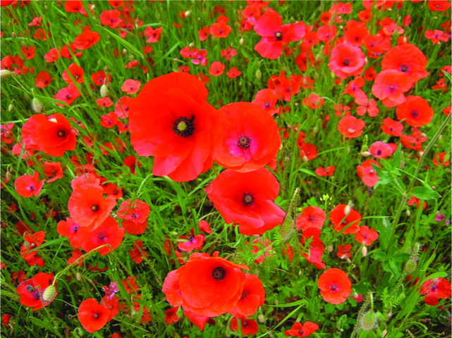 This is a photo of a field of red-orange poppies.