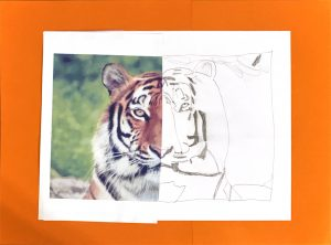 Tiger by Tommy S., grade 5